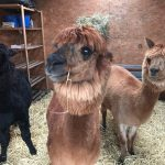 Alpacas Tom, Dick and Harry bedding down for winter